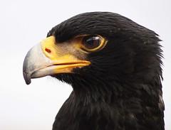 Bird of Prey,Yorkshire, England (Wilamoyo) Tags: bird birds prey specanimal yorkshirewildlifeparkdoncaster
