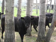 Bulls - First Nature Farms, Alberta, Canada