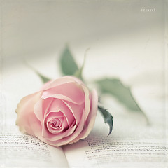 romance ({cindy}) Tags: pink flower rose square book dof letters explore textures frontpage flypaper 365days