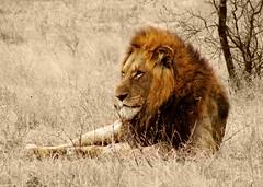 Lion1 (Jacques S G) Tags: africa travel wild nature animals cat southafrica feline tour lion safari predator krugernationalpark mpumalanga carnivore pantheraleo largetourssafaris