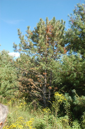 "Red Pine with Issues <a style=""margin-left:10px; font-size:0.8em;"" href=""http://www.flickr.com/photos/91915217@N00/4997181079/"" target=""_blank"">@flickr</a>"