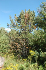 """Red Pine with Issues <a style=""""margin-left:10px; font-size:0.8em;"""" href=""""http://www.flickr.com/photos/91915217@N00/4997181079/"""" target=""""_blank"""">@flickr</a>"""