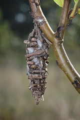 how to get rid of bagworm moth caterpillars