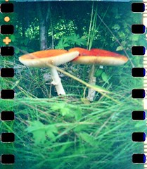 Blackbird fly Mushrooms (0jenni0) Tags: blackbirdfly blackbirdbbf mushrooms pilze fliegenpilz lomolomography iso100 agfa vista toycam