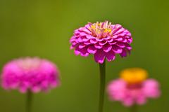 Pink Zinnias