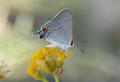 Mexican Gray Hairstreak (Strymon bebrycia) 01 (Thomas Salgado) Tags: bigbendnationalpark e510 strymonbebrycia mexicangrayhairstreak olympuse510 mexicangrayhairstreakstrymonbebrycia