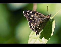 butterfly (fotogamie) Tags: summer sun green butterfly insect dof cross bokeh sommer grn sonne gruen schmetterling sonnenbad canoneos40d