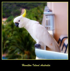 Cockatoo - 5 (Hopeisland) Tags: sunset sea vacation holiday island hamiltonisland          mygearandmepremium mygearandmebronze