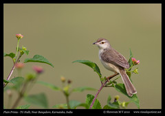 Plain Prinia (M V Shreeram) Tags: india bird nature birds fauna canon wildlife bangalore aves ave 7d priniainornata karnataka plainprinia avifauna 300mmf4is cisticolidae tghalli visualquotient wwwvisualquotientnet