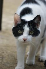 Cat (pepemczolz) Tags: white black cute kew cat eyes looking