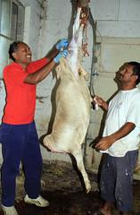 Skinning lamb