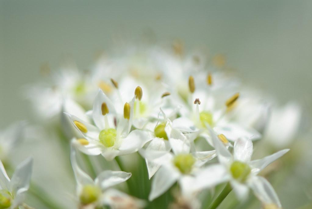 Leeks Blossom