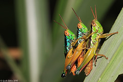 Grasshopper's  3-some (gbohne) Tags: insecta macro java insekten insekt insects insect indonesia taxonomy:binomial=caryandaspuria taxonomy:family=acrididae taxonomy:order=orthoptera canon arthropoda animalia halimun insectactivity 100mmf28canon closeup flash identified taxonomy:subfamily=oxyinae acrididae taxonomy:genus=caryanda springschrecken kurzfühlerschrecken grasshopper taxonomy:superfamily=acridoidea taxonomy:infraorder=acrididea caelifera taxonomy:suborder=caelifera orthoptera pterygota taxonomy:subclass=pterygota taxonomy:class=insecta taxonomy:subphylum=hexapoda taxonomy:phylum=arthropoda geo:region=asia geo:country=indonesia male männchen mating paarung neoptera taxonomy:infraclass=neoptera tropical female weibchen tier outdoor