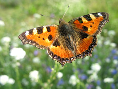Flying Butterfly - Small Tortoiseshell (Aglais urticae) - Waren (Mritz), Germany (Batikart ... handicapped ... sorry for no comments) Tags: blue light summer vacation orange sun white holiday plant flower macro green eye nature leaves animal closeup fauna canon butterfly germany insect geotagged deutschland leaf nationalpark holidays europa europe blossom sommer urlaub natur pflanze wing butterflies lepidoptera iridescent grn blau blume makro blatt blte sonne insekt weiss auge tender aglaisurticae vacanze tier smalltortoiseshell 2010 schmetterling mecklenburgvorpommern mritz flgel kleinerfuchs waren feisneck mecklenburgwesternpomerania canonpowershota610 nymphalinae fhler 100faves 50faves 200faves palp viewonblack edelfalter mritznationalpark fleckenfalter batikart feisnecksee