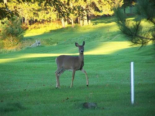 100_3158-2 Deer