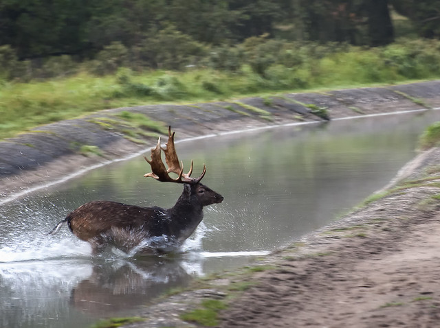 How did a deer cross the stream?
