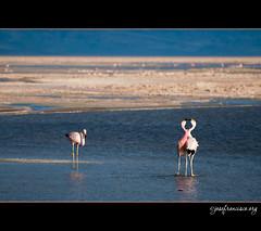 Voyeur (josefrancisco.salgado) Tags: chile bird fauna nikon desert flamingo ave desierto nikkor salar cl flamenco d3 pájaro sanpedrodeatacama salardeatacama saltflat desiertodeatacama atacamadesert repúblicadechile 70300mmf4556gvr reservanacionallosflamencos republicofchile iiregióndeantofagasta provinciadeelloa