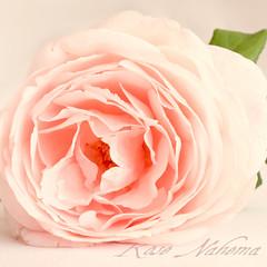 (kataaca) Tags: summer flower rose virág bsquare nyár rózsa floralessence