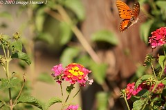 Gulf Fritillary Butterfly (Image Hunter 1) Tags: pink red orange green nature colors yellow butterfly flying louisiana gulf flight bayou swamp greenery marsh lantana fritillary gulffritillary bayoucourtableau canont2i