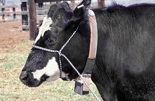 Cow equipped with a GPS collar, used to track the location of the animal.
