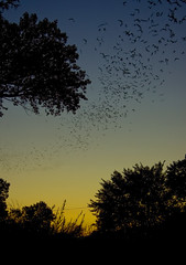 Bats! Bats! Bats! (grae w) Tags: bridge sunset sky tree up fly flying dusk bat nv warren reno bats mccarran grae batbridge