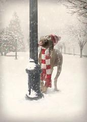 mukha's xmas card (saikiishiki) Tags: christmas xmas winter dog snow silly cute love hat goofy tongue scarf amazing funny adorable pole weimaraner card kawaii greeting weim mukha avanti thelittledoglaughed