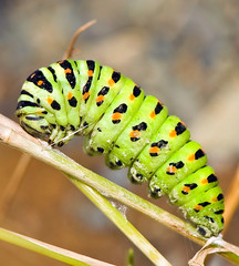 Old World Swallowtail Caterpillar, Papilio machaon, キアゲハ Ready To Pupate (aeschylus18917) Tags: macro nature japan butterfly insect nikon g moth lepidoptera caterpillar micro 日本 nikkor f28 vr swallowtail larva pxt papilio 105mm insecta 105mmf28 papilionidae papiliomachaon チョウ papilionoidea oldworldswallowtail アゲハチョウ 幼虫 papilionini papilioninae nsect 105mmf28gvrmicro d700 nikkor105mmf28gvrmicro キアゲハ ダニエル danielruyle aeschylus18917 danruyle druyle ルール ダニエルルール