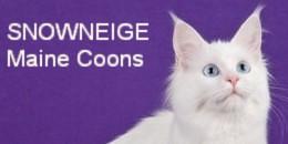 【猫 ブリーダー】【子猫】【オッドアイ】【純血種長毛種猫】【メインクーン】 大阪でメインクーンのブリーダーをしています。 我家の白いメインクーンたちの日常を