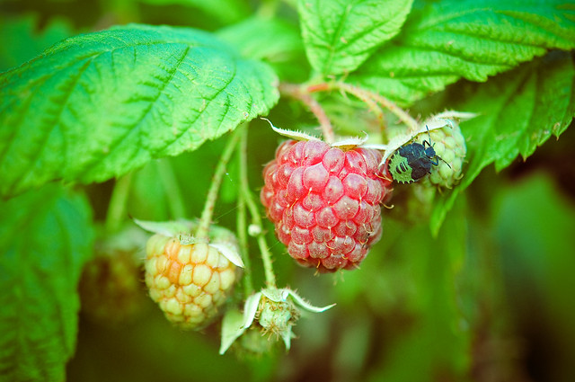raspberry bug