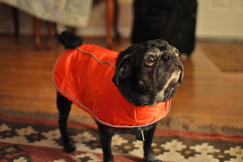Junior the Pug with a Cape