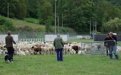 Transhumance (Oust/Arige/Pyrnes) (PierreG_09) Tags: montagne mouton oust pyrnes pirineos agneau arige brebis transhumance troupeau couserans