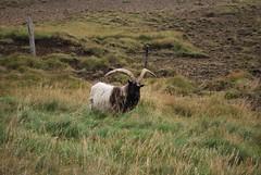 Islanda (Andrews_71) Tags: house iceland colore tetto sheep case chiesa porto lamb terra fuoco nord fiordo isola ghiaccio pecore cascata islanda capre peschereccio