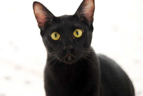 cute black oriental cat