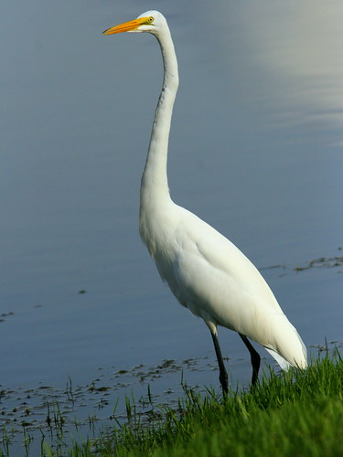 Great Egret 20100930