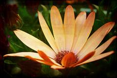 open (Roamer 57 (Not Around Much)) Tags: flower texture nature garden petals nikon theworldwelivein magicunicornverybest