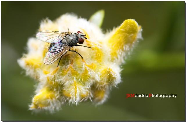 La mosca ...