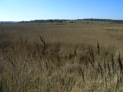 view-across-reeds-at-minsmere