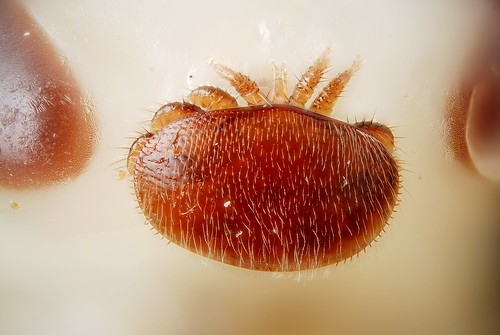 Female Varroa destructor on the head of by Gilles San Martin, on Flickr