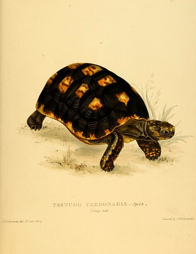 002-Testudo Carbonaria Spix-Tortoises terrapins and turtles..1872-James Sowerby