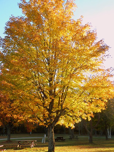 The glorious maple