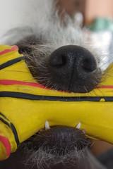 Luda's teeth (GoProGirlMiami) Tags: park dog weird mixed comedy different chinese ugly tvshow funnydog tennisball diferente dormindo peruvian raro luda peruano pelado uglydog playingball sleepingdog rarebreeds peluda october10 hairlessdog mimado 061010 100610 yahooreporter dogs101 cachorrofeio cachorrosempelo sempelo hairlesspio peruvianincadog racarara cachorrosempeloperuanoorquideainca