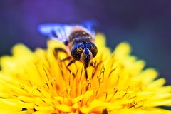 Very Busy Bee at Work (M4j4) Tags: flower macro nature insect dandelion bee stingless whistlewhileyouwork msh1010 msh101019 westernbee
