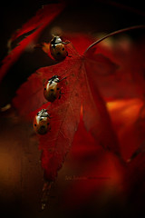 coccinellidae | Légende d'Automne (cliccath) Tags: macro texture photomanipulation photoshop japanesemaple ladybird ladybug coccinelle macrophotography coleoptera coccinellidae coccinellaseptempunctata macrophotographie canoneos5dmarkii canonef100mmf28macrousmlens cliccath ~explore~ cathschneider coléoptère érabledujapon