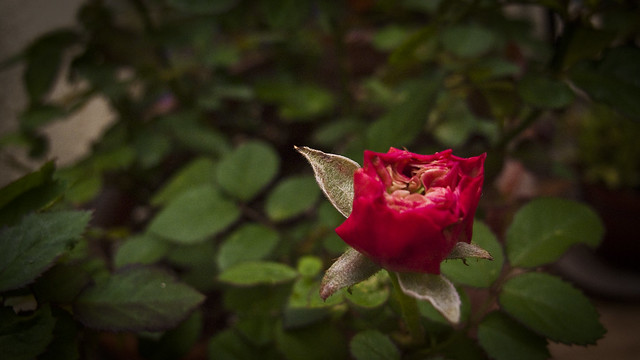 My first rose.....