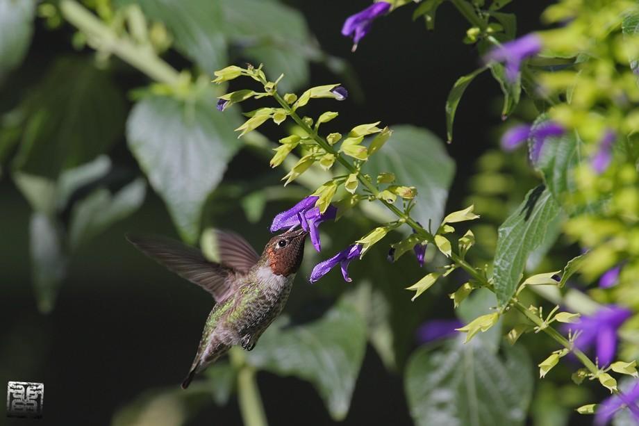 Anna's Hummingbird 10101-2