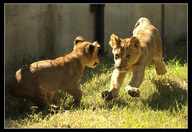 1001_loc_Lions2
