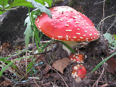 Amanita mushroom, Greenlake Park, Seattle (justsmartdesign) Tags: park red mushroom october greenlake toadstool aminita img1532jm