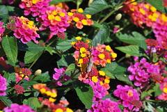 DSC_0048 (tracie7779) Tags: flower butterfly october lantana paintedlady