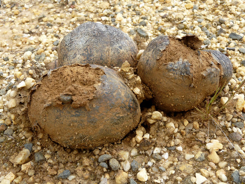 Horse Dung Fungus Pisolithus arhizus | Flickr - Photo Sharing!