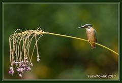 20101011_036 (felixcat2006) Tags: bird nature birds nikon wildlife 300mm kingfisher d300s